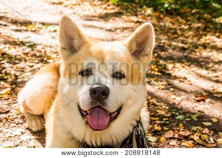 A Full Face Portrait Of A Red Japanese Akita. Closeup