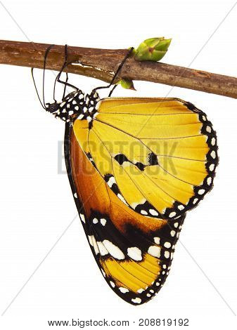 Plain tiger butterfly, Danaus chrysippus, isolated on white background. Plain tiger is the most widespread butterfly in the world. The butterfly hangs upside down on a branch with its wings closed.