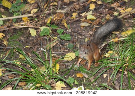 wild grey squirrel in park on grass daylight autumn Moscow