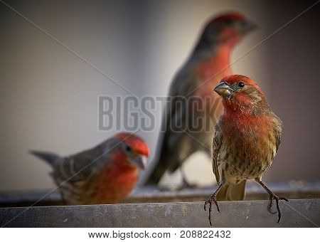 Small red birds in feeder early morning