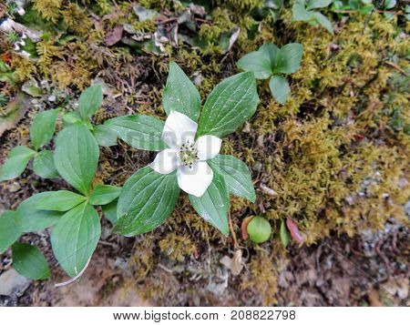 A Single Cornus canadensis (Canadian dwarf cornel, Canadian bunchberry, quatre-temps, crackerberry, creeping dogwood) surrounded by moss, closeup, macro