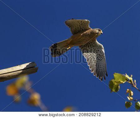 European, eurasian, common or old world kestrel, falco tinnunculus flying up