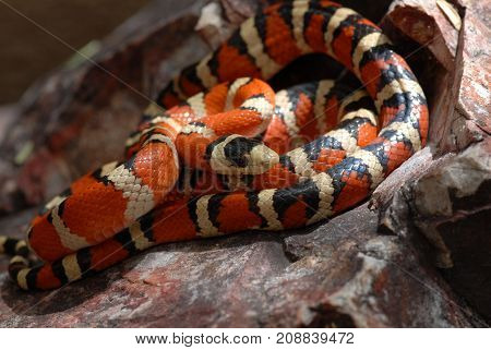 The Arizona mountain kingsnake is a beautiful species commonly located at higher elevations in Arizona and New Mexico.