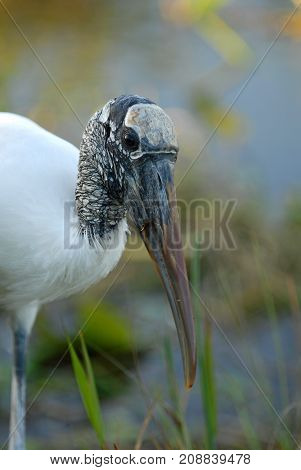 The american wood stork has become a threatened species largely due to habitat loss and polution.