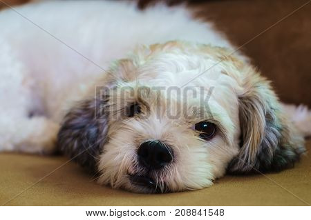 Short hair white Shih tzu dog sleeping on sofa