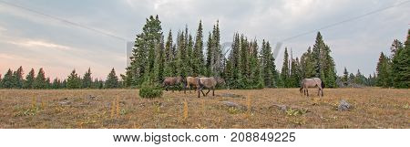 Small herd (band) of wild horses grazing on dry grass next to deadwood logs at sunset in the Pryor Mountains Wild Horse Range in Montana United States