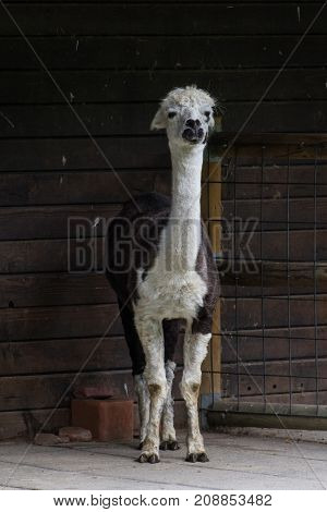 an alpaca in a zoo, black and white