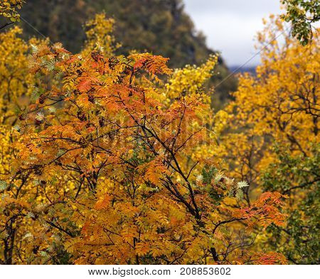 Rowan leaves on a colorful tree in the mountain. Overcast weather.