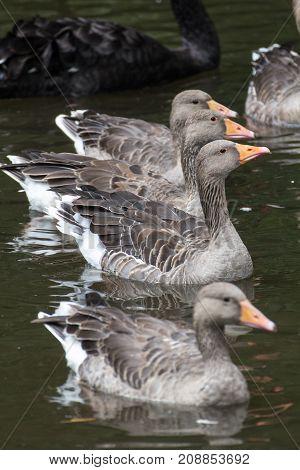 a few ducks in a river in bavaria