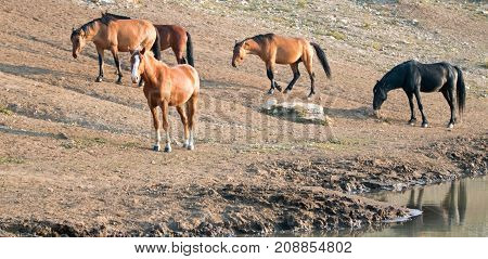 Herd Of Wild Horses At The Waterhole In The Pryor Mountains Wild Horse Range In Montana United State