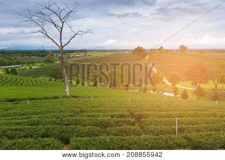 Tea plantation over high hill natural landscape background