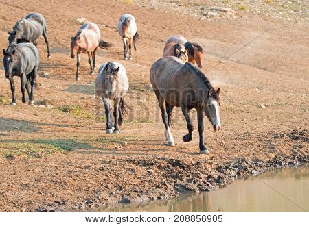 Chestnut Liver Bay Roan Coming To The Water Hole With Herd Of Wild Horses At The Waterhole In The Pr