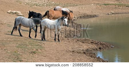 Pale White Buckskin Stallion With Herd (small Band) Of Wild Horses At The Waterhole In The Pryor Mou