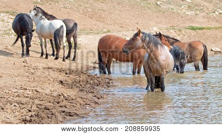 Red Roan Stallion In The Waterhole With Herd Of Wild Horses In The Pryor Mountains Wild Horse Range