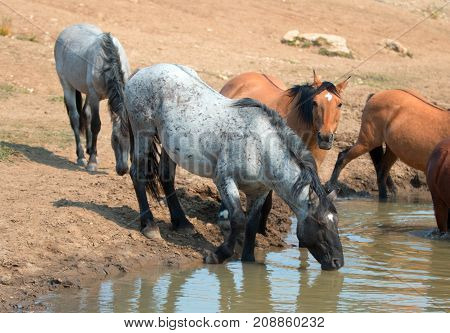 Blue Roan Stallion Drinking At The Waterhole With Herd Of Wild Horses In The Pryor Mountains Wild Ho