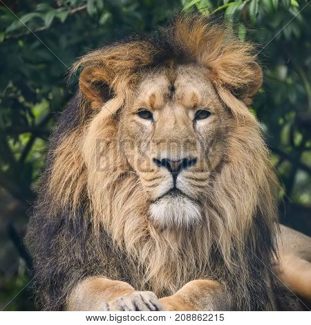 Beautiful Portrait Of Asiatic Lion Panthera Leo Persica