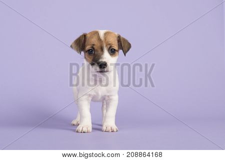 Cute jack russel terrier puppy looking at the camera seen from the front standing on a purple background