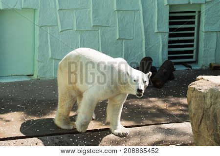 A polar bear is walking on floor