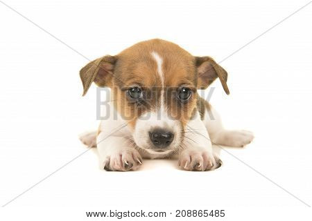 Cute brown and white jack russel terrier puppy lying on the floor seen from the front facing the camera isolated on a white background