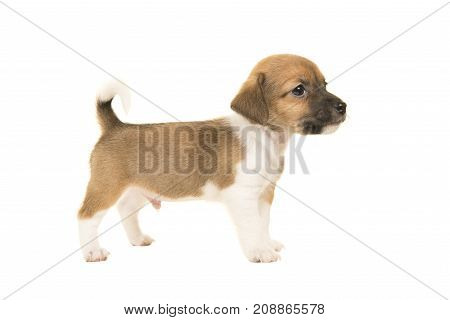 Cute brown and white jack russel terrier puppy seen from the side standing isolated on a white background