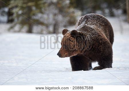 Brown Bear walking in the snow in spring awakening