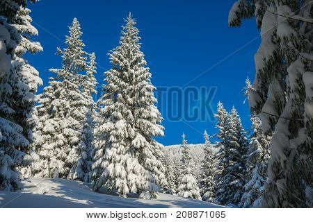 Huge Fir Trees Covered With Snow
