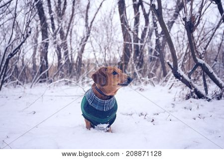 Curious Small Dog, In A Plaid Coat