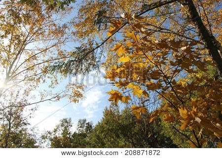Birch with golden leaves and green larch on a background of blue sky / Autumn landscape in a park / Trees with autumn foliage against a blue sky with clouds / Autumn landscape in clear sunny weather