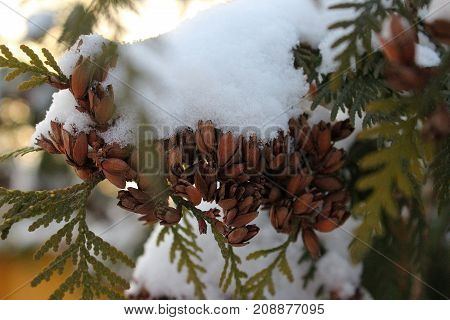 The Cones in the snow. Cones with snow on a branch in winter. A coniferous tree with pinecone. Thuja branch with cones. The snow on the tree. Snowflakes on the branches. Christmas tree in the snow