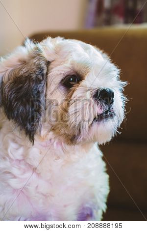 Short hair white Shih tzu dog looking for something