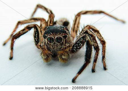 Close up of jumping spider on white background selective focus and extreme DOF