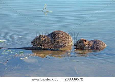 closeup of a beaver sitting in the water and nibbles the log adult furry beaver