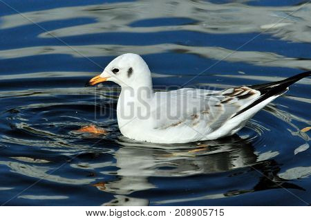 Black-headed gull.A young bird, the plumage of a young bird. The bird eats bread thrown into the water. Autumn, October.