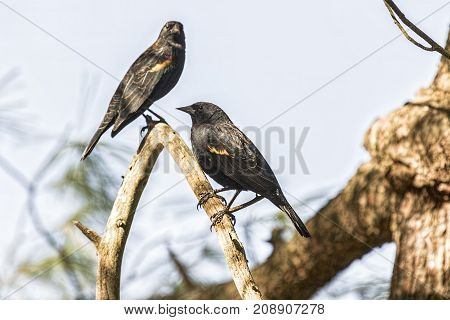 Red-winged blackbirds on a tree branch waiting their turn at a feeder.