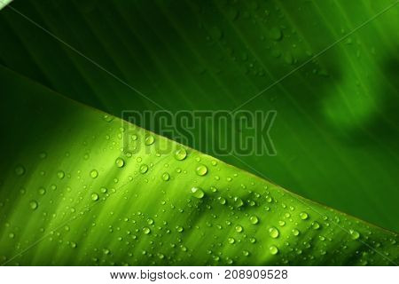 Banana leaves with water drops green background