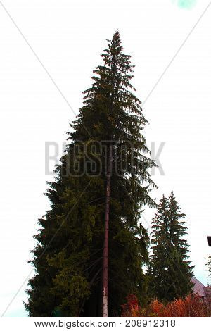 Two of spruce against blue sky. Big and small Christmas tree..