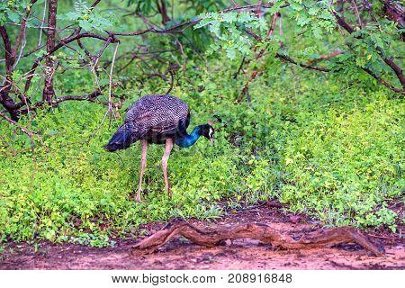Wild peacock or Pavo cristatus in national park Yala, Sri Lanka