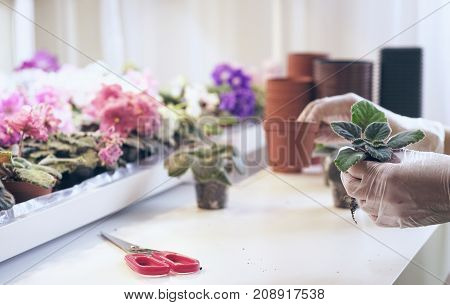 Transplant flowers in pots. Woman's hands holding a young flower which transplants in soil ecology protection