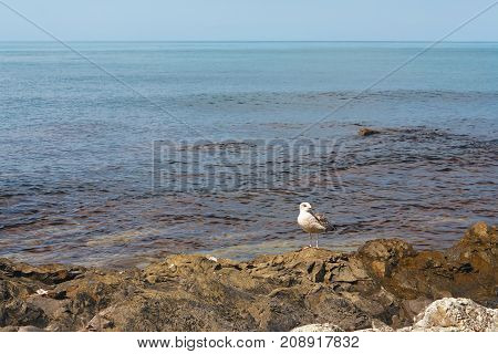 Seagull on the coastal reefs on the background of a calm sea