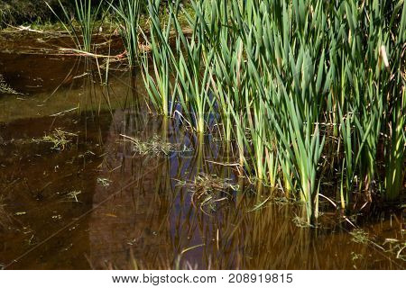 A shallow pond with green reed grass growing on the edge as landscaping.