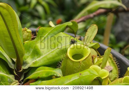 Close up fly on pitcher plant or Nepenthes ampullaria or monkey cups