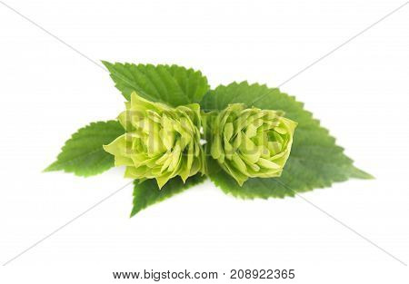 Blossoming green hop branch, isolated on white background