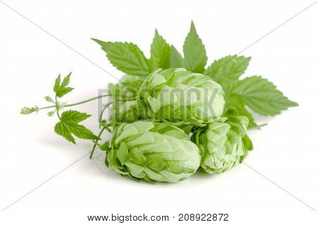 hop cones with leaf isolated on white background close-up.
