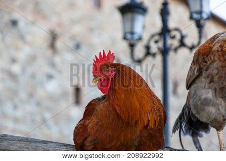 A red feathered rooster sitting calmly on a wooden fence in a castle yard.