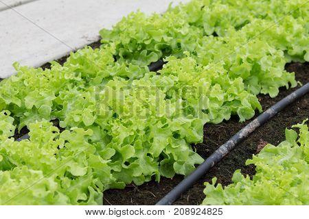 Lettuces in the organic vegetable garden. Fresh vegetables for making salads