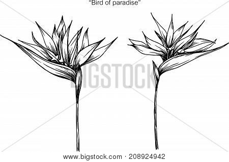 bird of paradise flower drawing.Black and white with line art illustration.