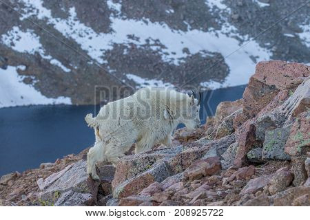 a mountain goat walking in the high country
