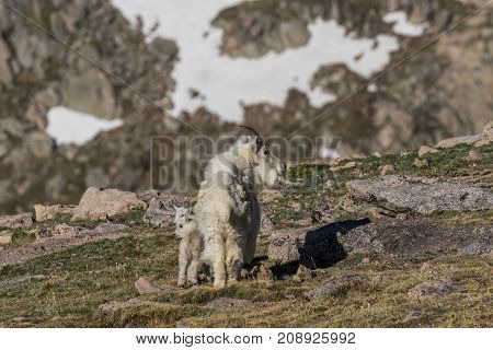 a mountain goat nanny with her young in the high country