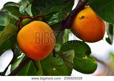 Large ripe persimmon fruit hangs on a tree in autumn.