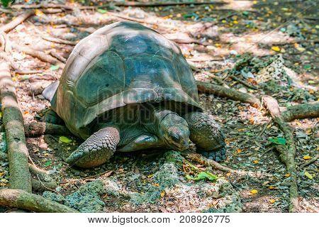Aldabra giant tortoise or Aldabrachelys gigantea on Prison Island